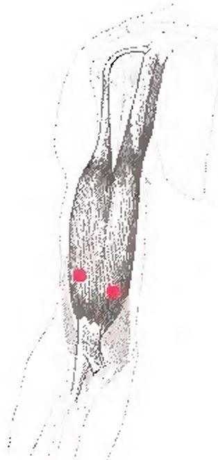 Двуглавая мышца плеча и точки